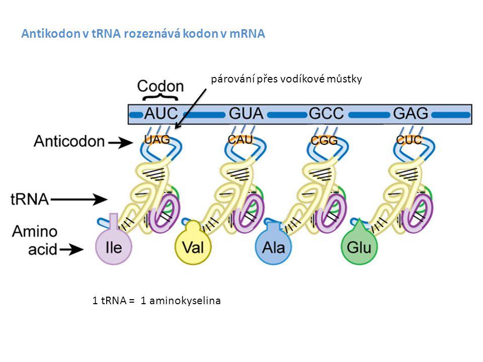 Antikodon v tRNA rozeznává kodon v mRNA