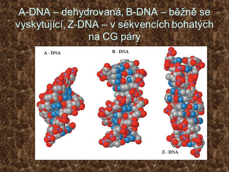 A-DNA – dehydrovaná, B-DNA – běžně se vyskytující, Z-DNA – v sekvencích bohatých na CG páry