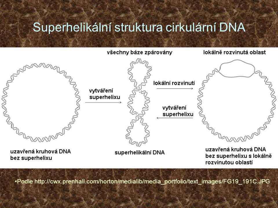 Superhelikální struktura cirkulární DNA