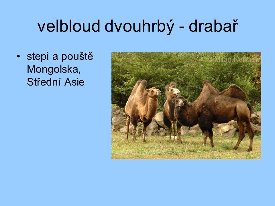 velbloud dvouhrbý - drabař