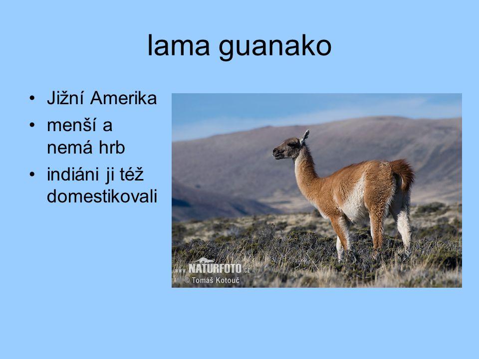 lama guanako Jižní Amerika menší a nemá hrb