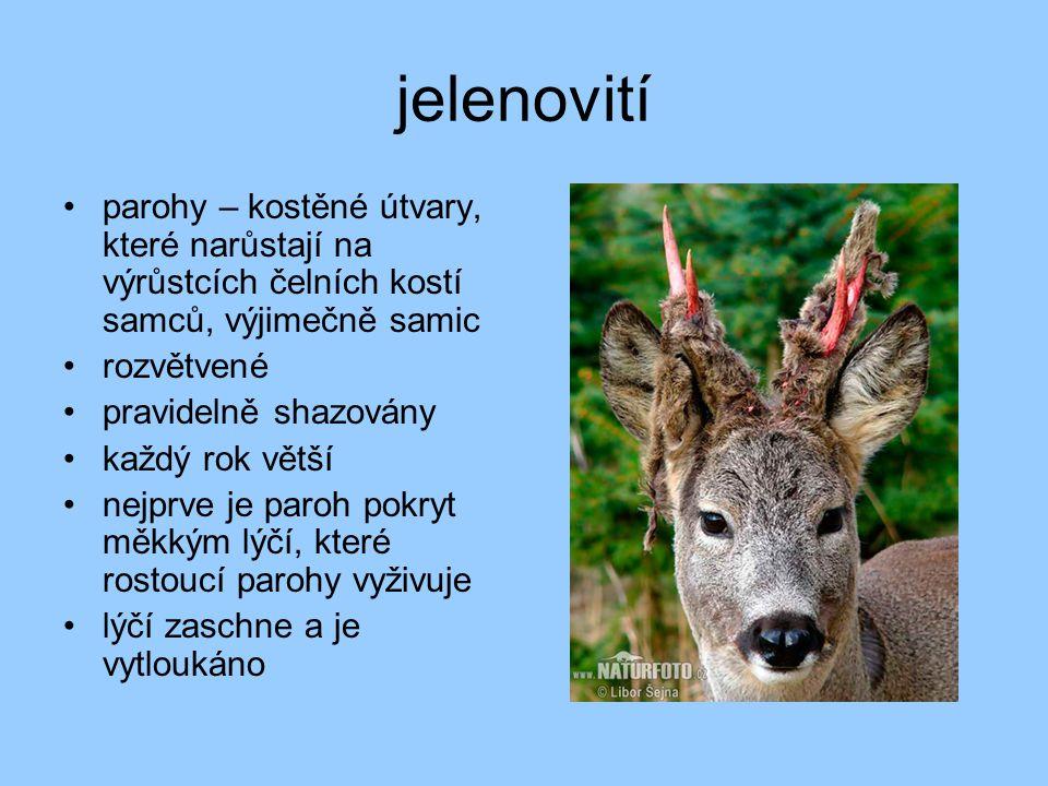 jelenovití parohy – kostěné útvary, které narůstají na výrůstcích čelních kostí samců, výjimečně samic.
