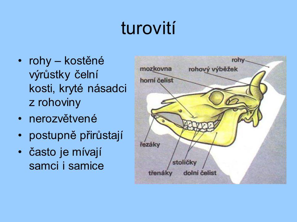 turovití rohy – kostěné výrůstky čelní kosti, kryté násadci z rohoviny