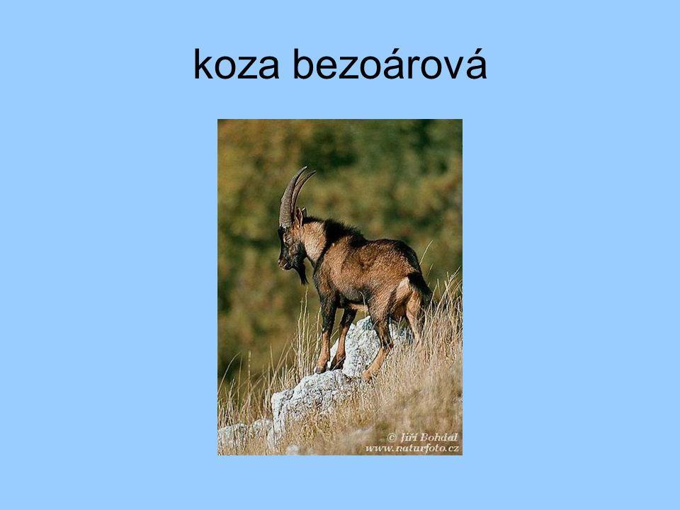 koza bezoárová