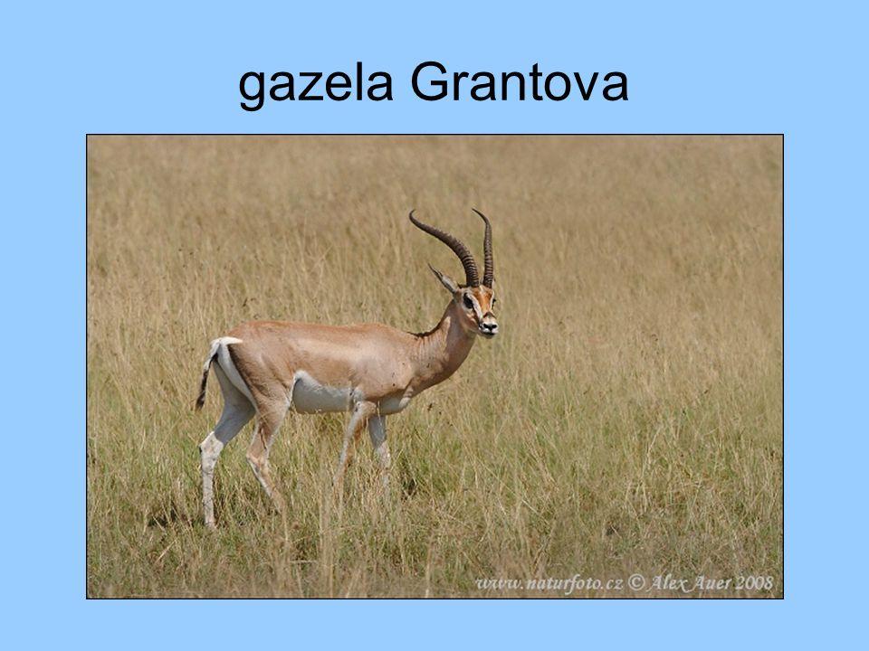 gazela Grantova
