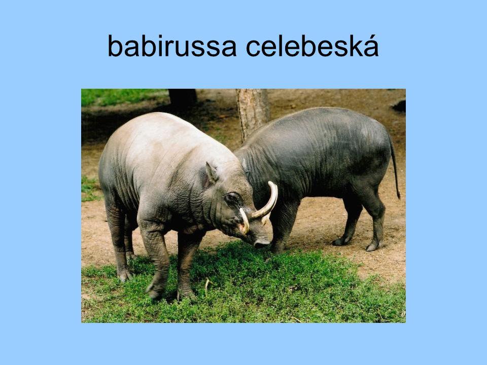 babirussa celebeská
