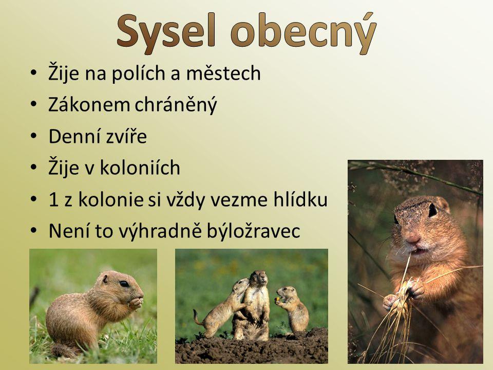 Sysel obecný Žije na polích a městech Zákonem chráněný Denní zvíře