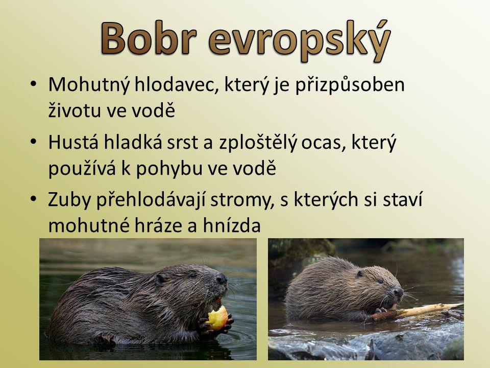 Bobr evropský Mohutný hlodavec, který je přizpůsoben životu ve vodě