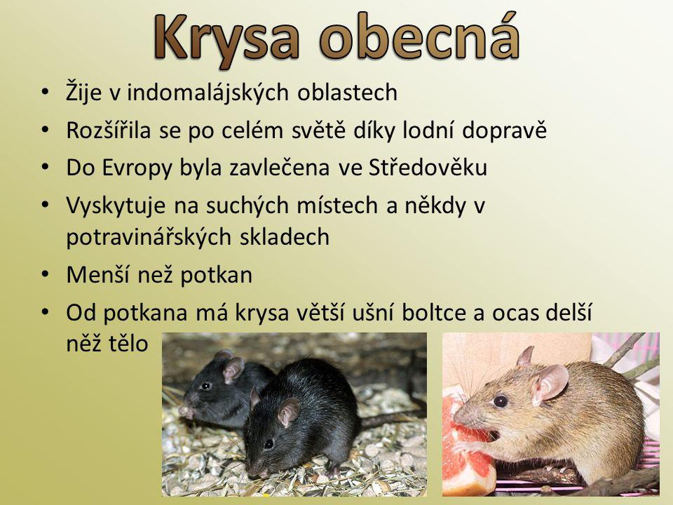 Krysa obecná Žije v indomalájských oblastech