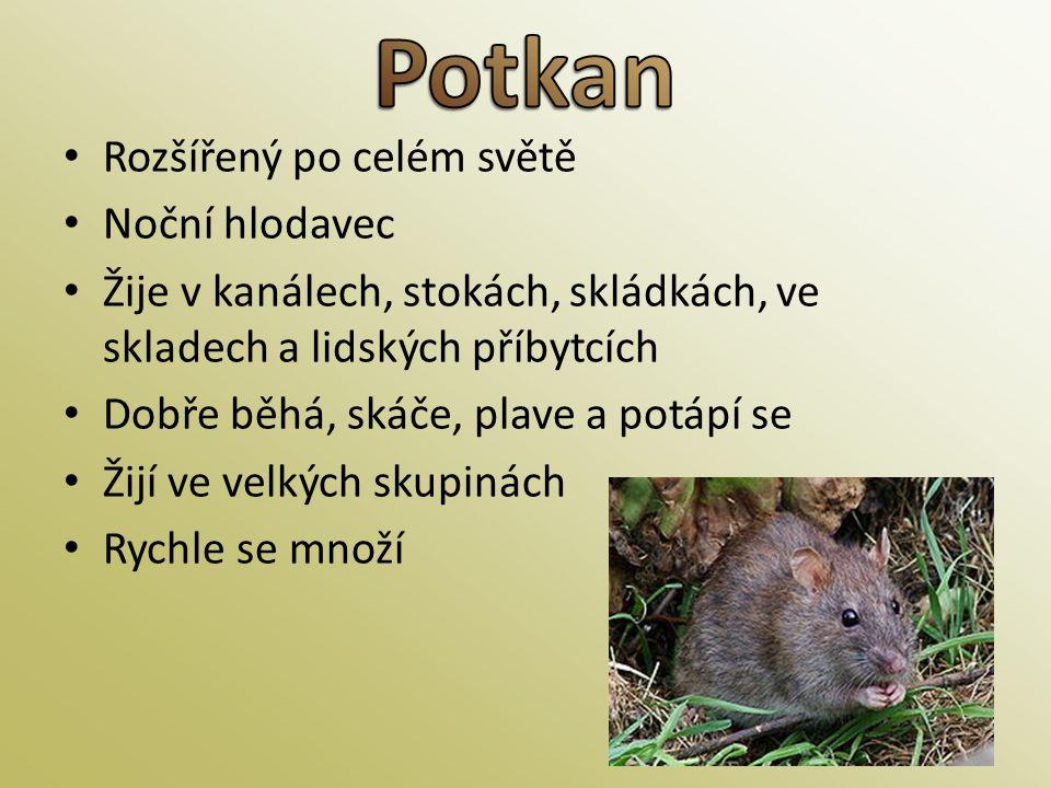 Potkan Rozšířený po celém světě Noční hlodavec