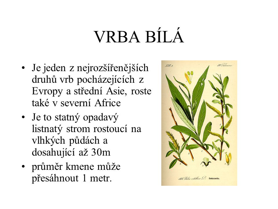 VRBA BÍLÁ Je jeden z nejrozšířenějších druhů vrb pocházejících z Evropy a střední Asie, roste také v severní Africe.