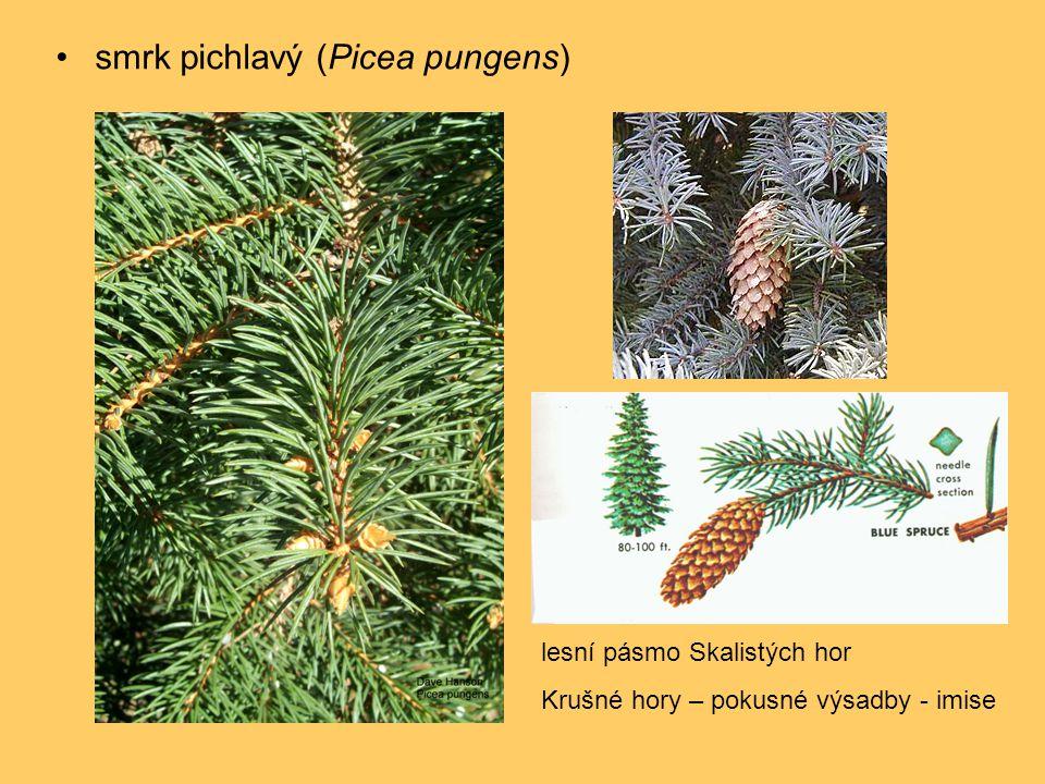 smrk pichlavý (Picea pungens)