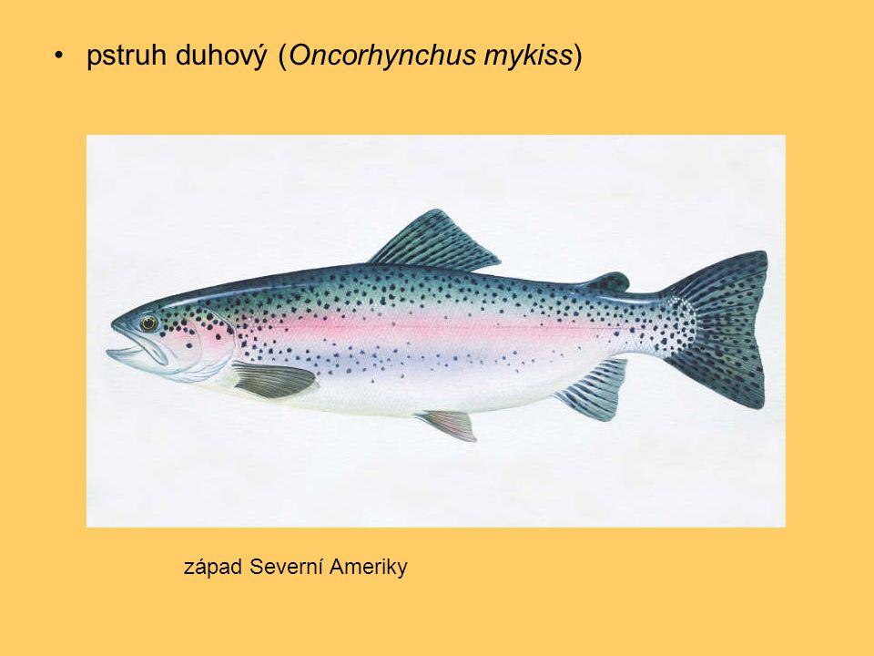 pstruh duhový (Oncorhynchus mykiss)