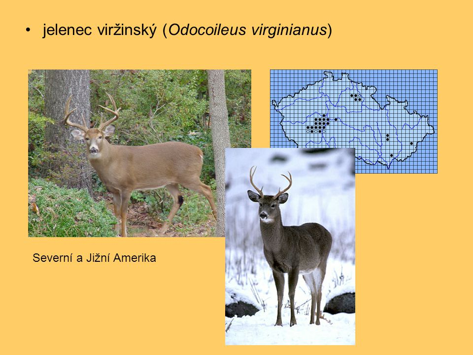 jelenec viržinský (Odocoileus virginianus)