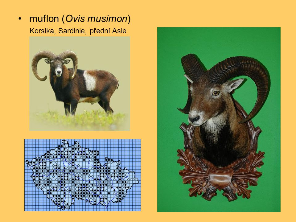 muflon (Ovis musimon) Korsika, Sardinie, přední Asie