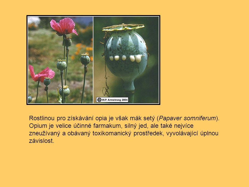 Rostlinou pro získávání opia je však mák setý (Papaver somniferum)