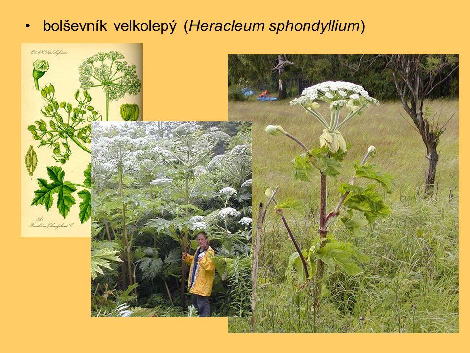 bolševník velkolepý (Heracleum sphondyllium)