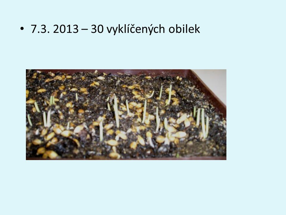 7.3. 2013 – 30 vyklíčených obilek