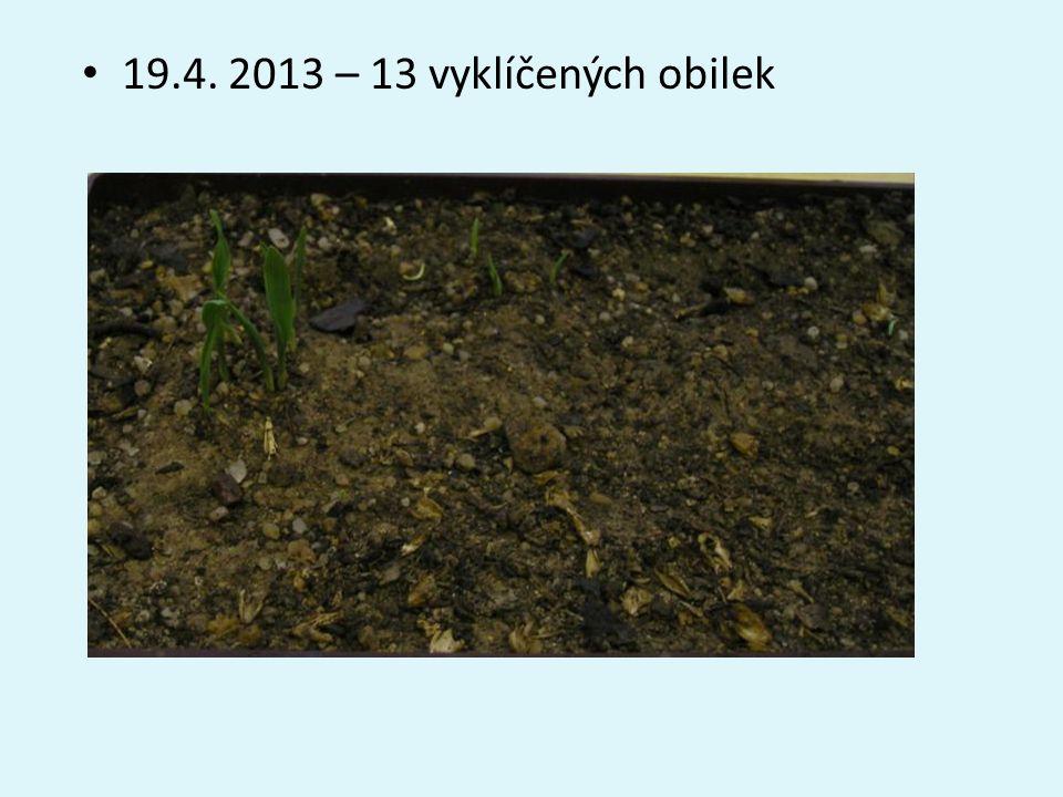 19.4. 2013 – 13 vyklíčených obilek