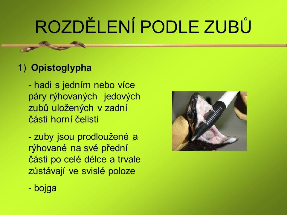 ROZDĚLENÍ PODLE ZUBŮ Opistoglypha
