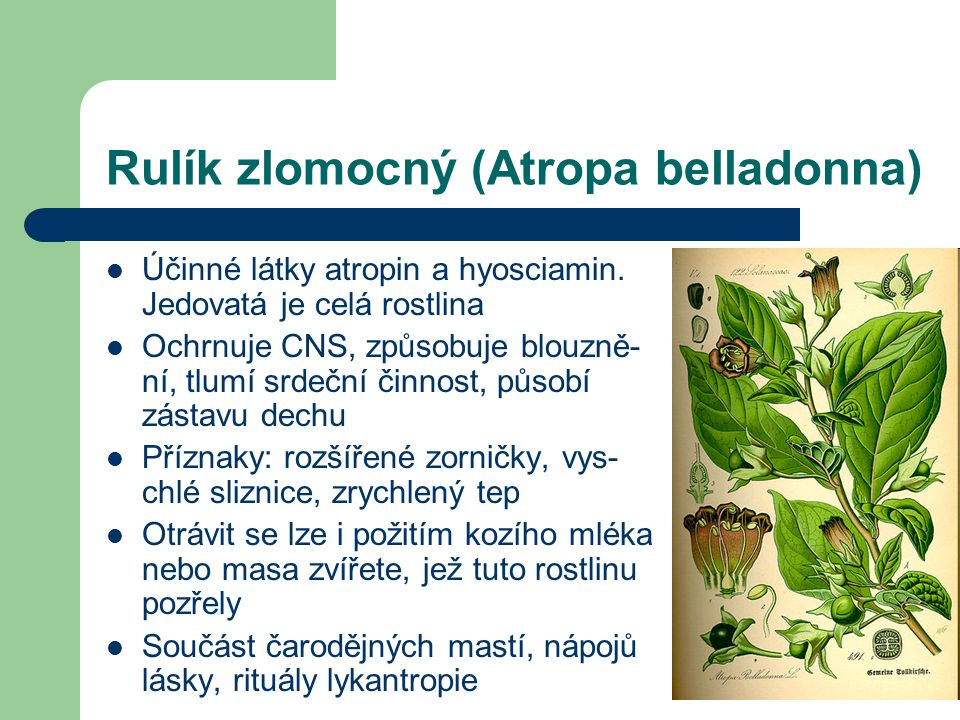 Rulík zlomocný (Atropa belladonna)