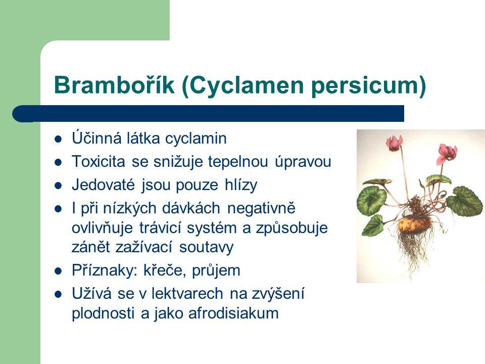 Brambořík (Cyclamen persicum)