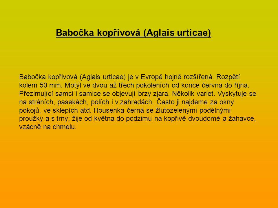 Babočka kopřivová (Aglais urticae)