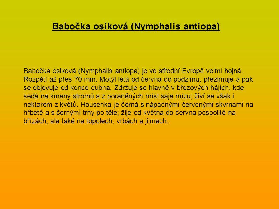 Babočka osiková (Nymphalis antiopa)
