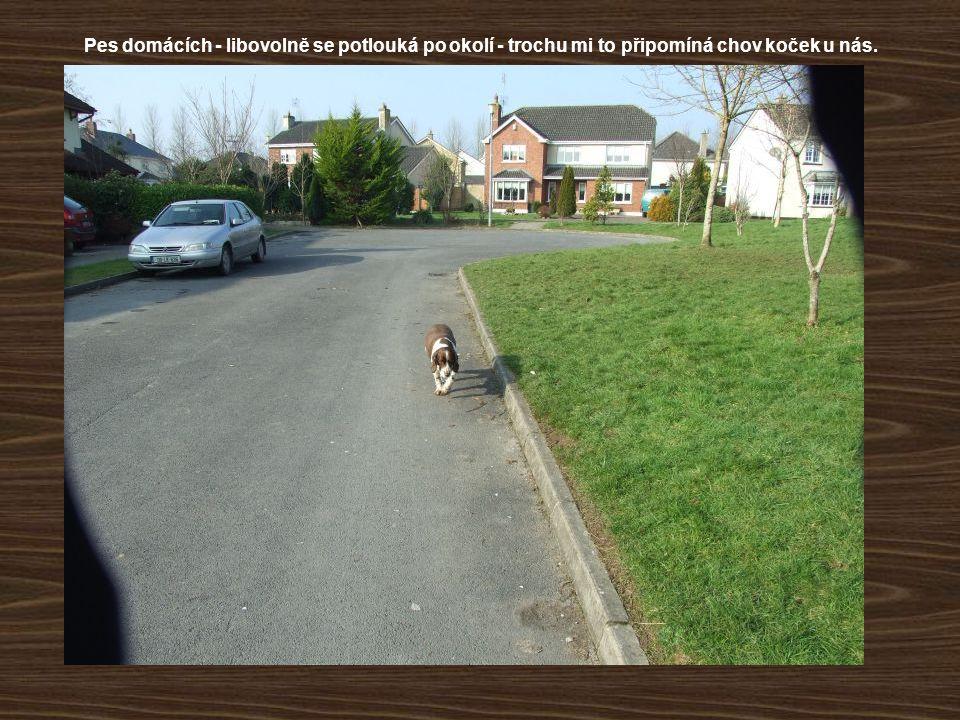 Pes domácích - libovolně se potlouká po okolí - trochu mi to připomíná chov koček u nás.