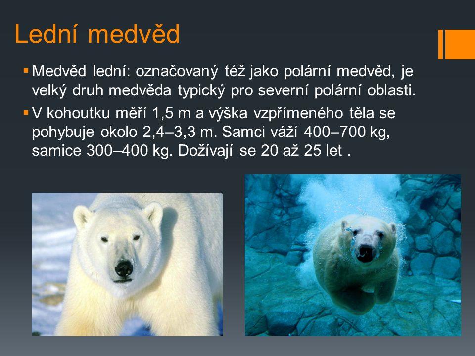 Lední medvěd Medvěd lední: označovaný též jako polární medvěd, je velký druh medvěda typický pro severní polární oblasti.
