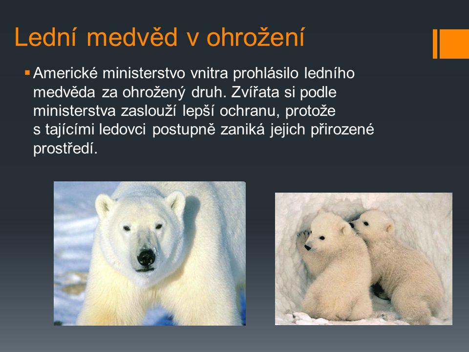 Lední medvěd v ohrožení