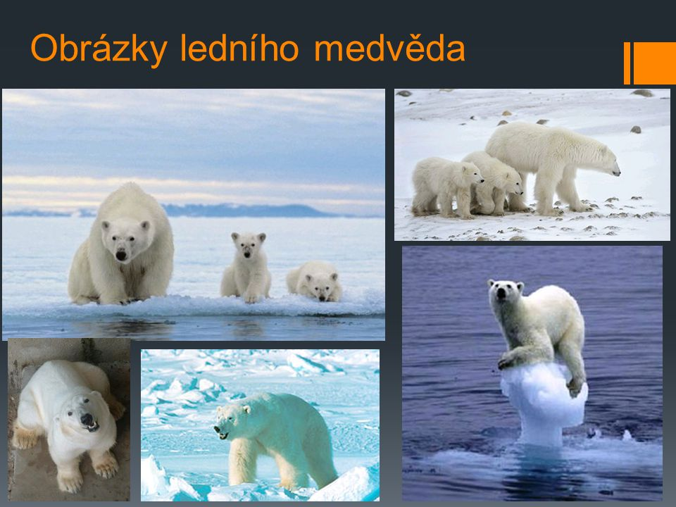 Obrázky ledního medvěda