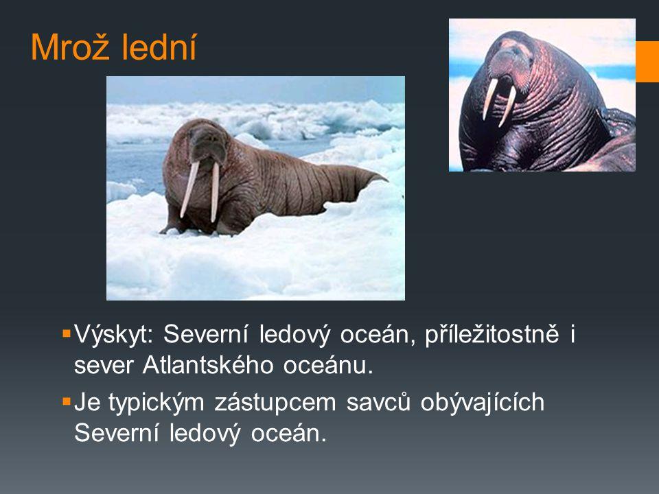 Mrož lední Výskyt: Severní ledový oceán, příležitostně i sever Atlantského oceánu.