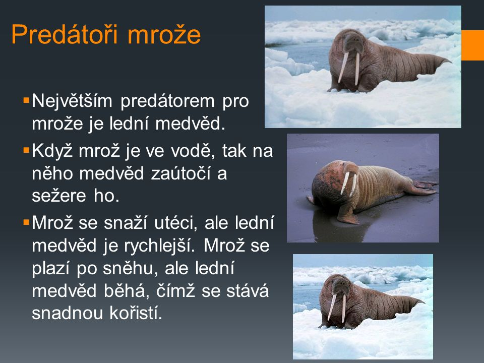 Predátoři mrože Největším predátorem pro mrože je lední medvěd.