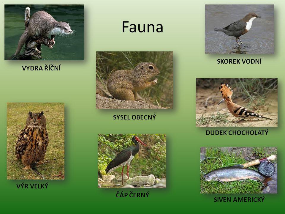 Fauna SKOREK VODNÍ VYDRA ŘÍČNÍ SYSEL OBECNÝ DUDEK CHOCHOLATÝ VÝR VELKÝ