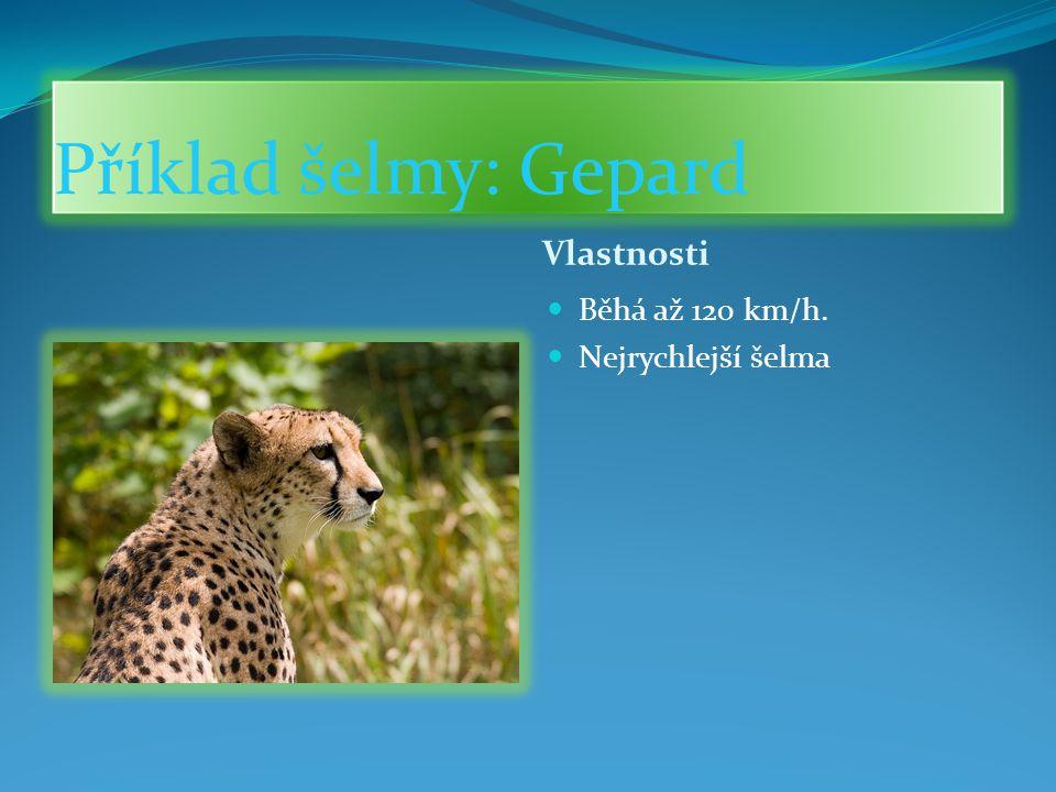Příklad šelmy: Gepard Vlastnosti Běhá až 120 km/h. Nejrychlejší šelma