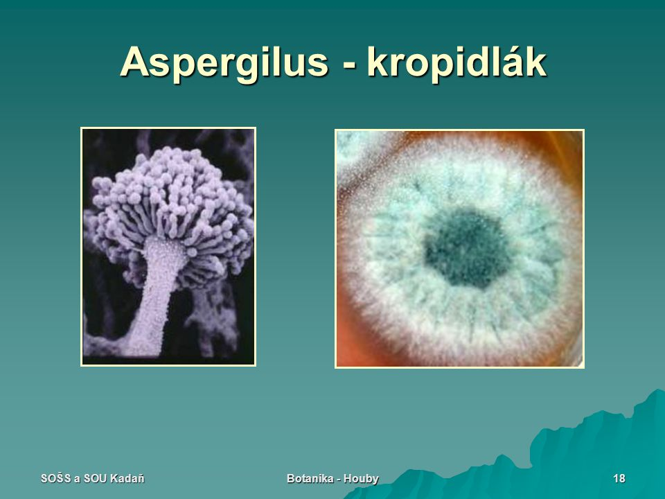 Aspergilus - kropidlák
