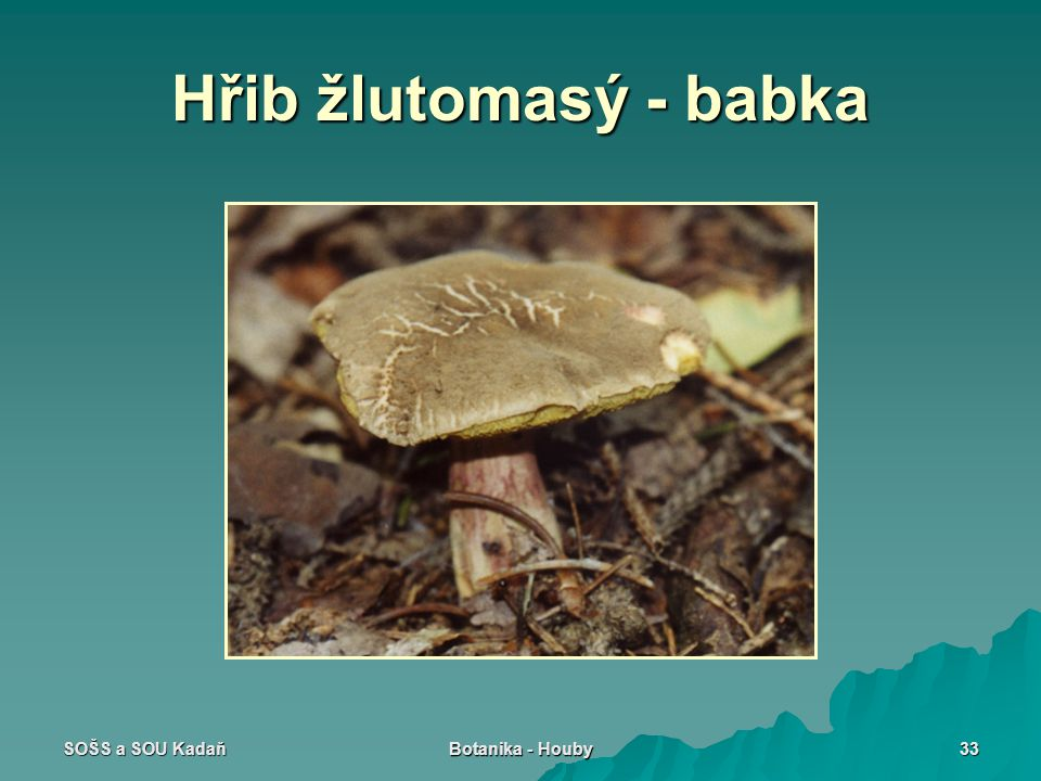 Hřib žlutomasý - babka SOŠS a SOU Kadaň Botanika - Houby