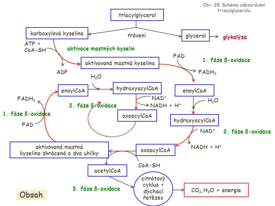 Obsah triacylglycerol karboxylová kyselina trávení glycerol glykolýza
