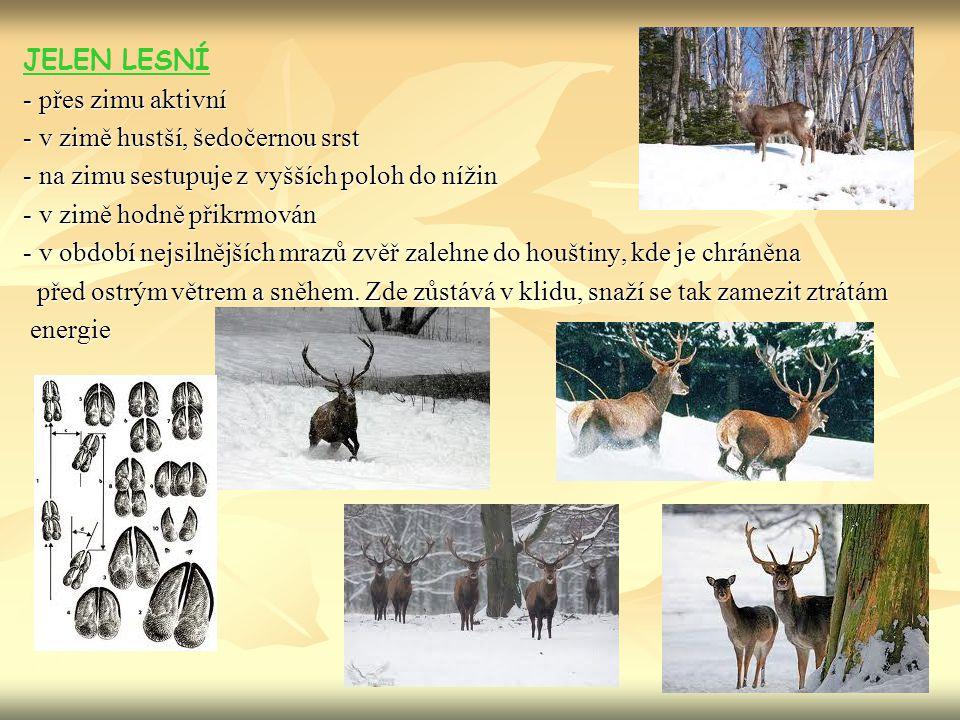 JELEN LESNÍ - přes zimu aktivní. - v zimě hustší, šedočernou srst. - na zimu sestupuje z vyšších poloh do nížin.
