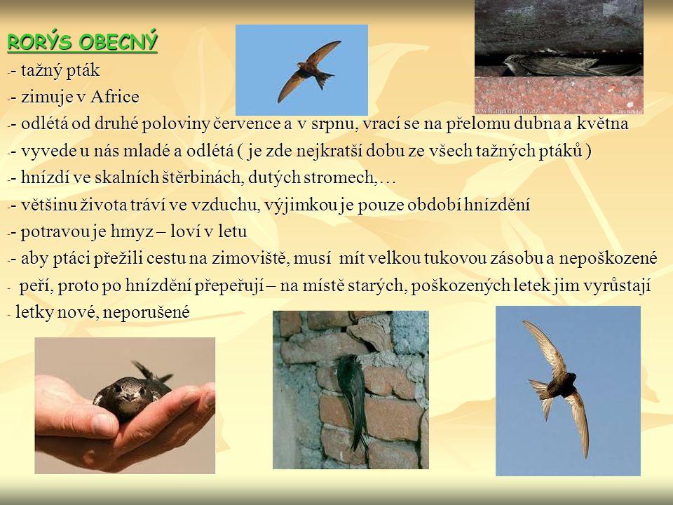 RORÝS OBECNÝ - tažný pták. - zimuje v Africe. - odlétá od druhé poloviny července a v srpnu, vrací se na přelomu dubna a května.