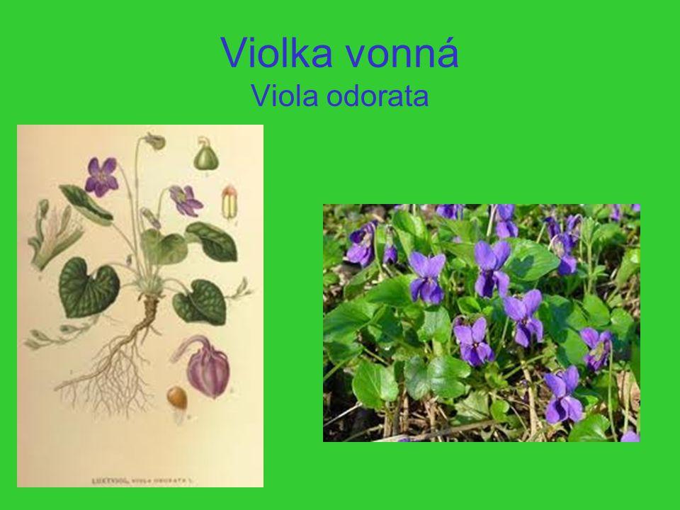 Violka vonná Viola odorata