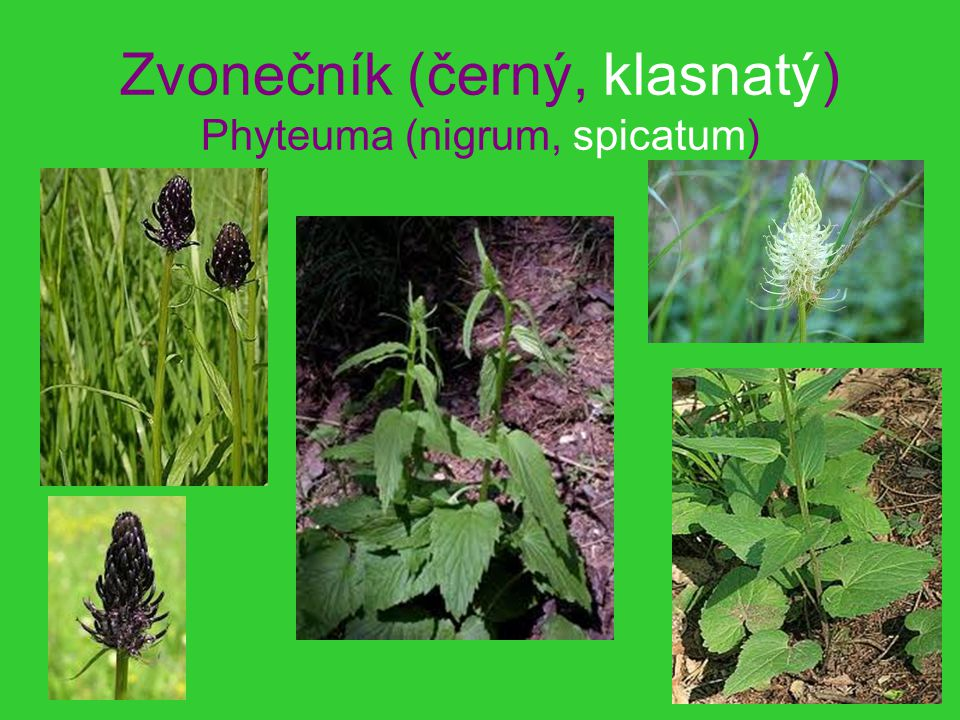 Zvonečník (černý, klasnatý) Phyteuma (nigrum, spicatum)