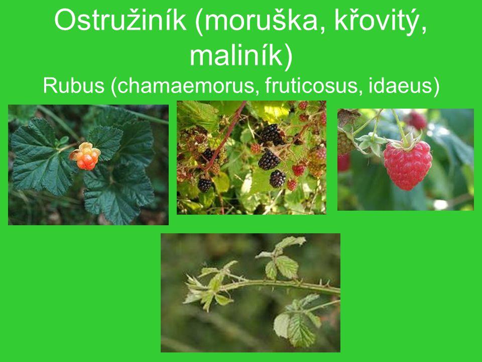 Ostružiník (moruška, křovitý, maliník) Rubus (chamaemorus, fruticosus, idaeus)
