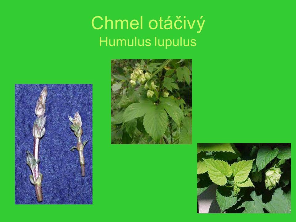 Chmel otáčivý Humulus lupulus