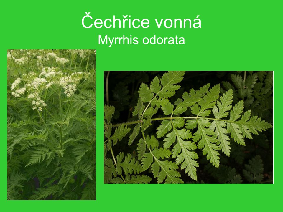 Čechřice vonná Myrrhis odorata