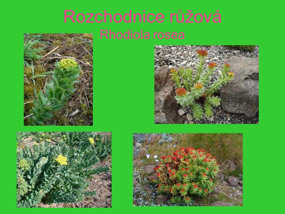 Rozchodnice růžová Rhodiola rosea