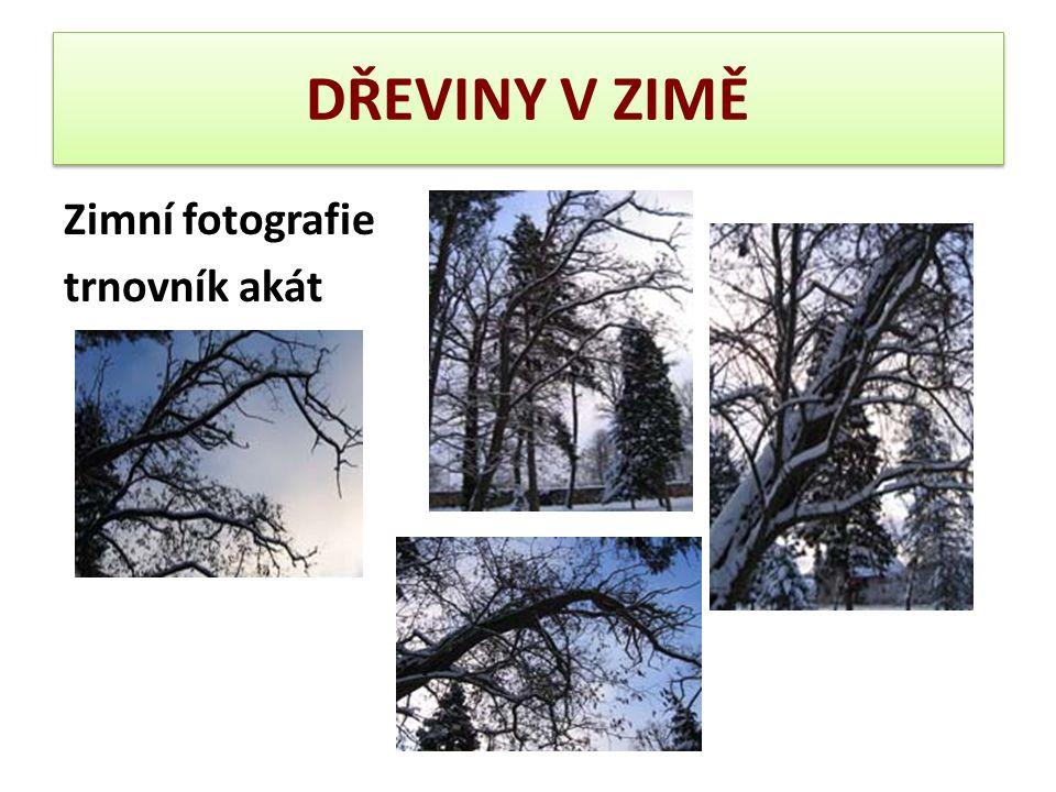 DŘEVINY V ZIMĚ Zimní fotografie trnovník akát