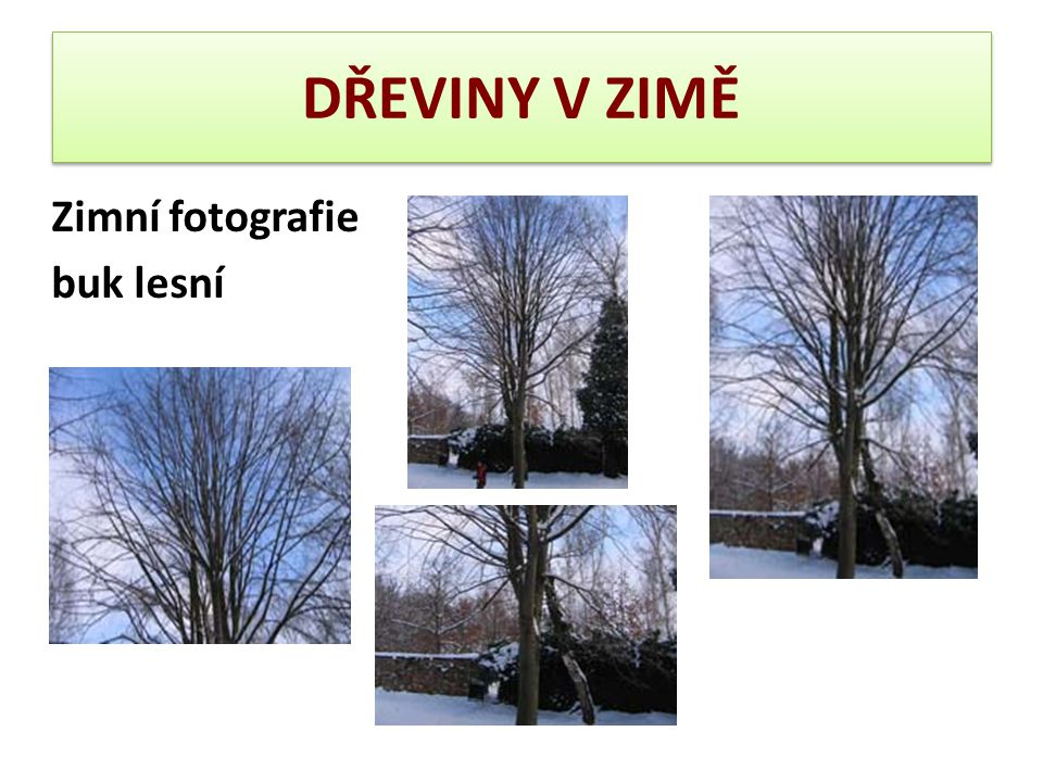 DŘEVINY V ZIMĚ Zimní fotografie buk lesní