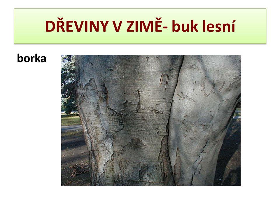 DŘEVINY V ZIMĚ- buk lesní